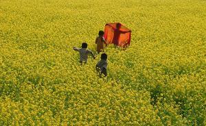 印度未发现转基因芥菜引发健康安全担忧,或将批准上市