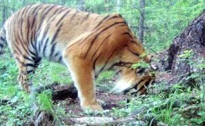 """黑龙江林业厅再拍到野生东北虎照片视频,确认其为""""定居虎"""""""