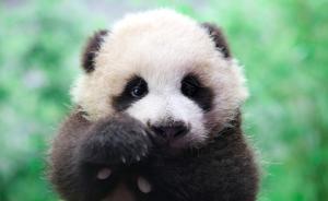 """在上海出生大熊猫""""花生""""满100天,长出4颗牙已学会爬行"""