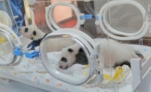 又有两只大熊猫宝宝在上海出生,这对龙凤胎今天满月亮相了