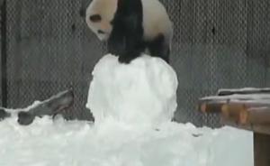 视频丨忍俊不禁!多伦多动物园大熊猫怒打雪人反被砸头