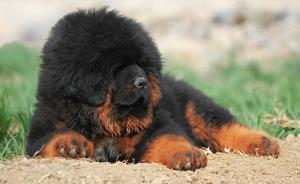 藏獒热崩盘之后:被扔的狗越来越多,威胁藏区野生动物和人