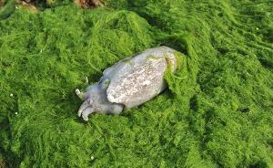 山东青岛现大面积浒苔侵入胶州湾,绿潮成片如草原