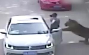 动物园老虎袭人监控视频曝光:女游客私自下车被身后老虎叼走