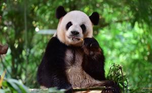 四川乐山野生大熊猫下山觅食,啃食村民圈养山羊