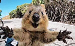 早安,全世界都在看↑短尾矮袋鼠求抱抱走红,表情萌到心坎里图片
