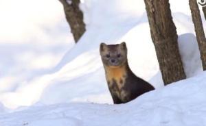 林海雪原里的紫貂:眼睛滚圆,身姿灵动