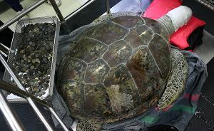 你祈福它丧命!泰国25岁海龟误吞千枚硬币,手术后仍身亡