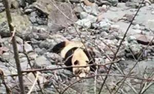 野生大熊猫下山喝水,憨厚可爱不怕生
