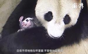 大熊猫首次在上海生育:整日紧抱熊猫宝宝,5人24小时服务