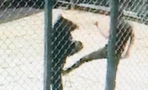 福州动物园狗熊表演失败被踢裆部,表演被叫停、驯兽师停职