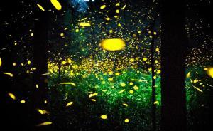 湖南株洲萤火虫展被紧急叫停,林业局:基本都是野外捕捉的
