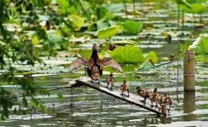野生小鸳鸯去荷塘找吃的翻不过围网,西湖景区给它们搭了座桥