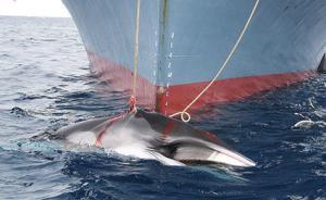 日本宣布今年西北太平洋捕鲸计划,计划捕获鲸鱼304头