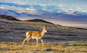 世界自然保护联盟评估报告建议:将可可西里列入世界遗产名录