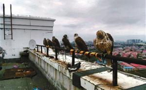 """""""宠物救助群""""内叫卖鹰隼:可邮寄或代运,多为野外捕获雏鸟"""
