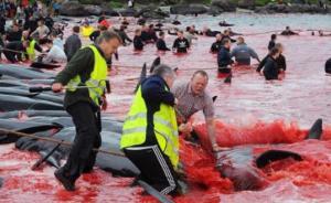 丹麦法罗群岛集体捕杀巨头鲸染红海水:捕鲸在当地系合法行为