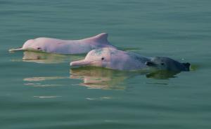 地图湃 | 中华白海豚的生存难题