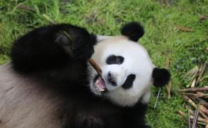 """大熊猫""""梦梦""""""""娇庆""""明日赴德,将入住5500平米熊猫园"""