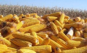 内蒙古阿左旗查处一起非法制种转基因玉米案:铲除千余亩玉米