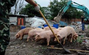 餐厨垃圾养猪现象屡禁不止,专家:多种病原体或在猪体内繁衍