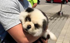 """俄罗斯街头现与""""熊猫宝宝""""收费合影,经查系染色松狮"""