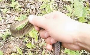 """网红直播猎蛇实为卖蛇,警方在其""""养殖场""""查出眼镜蛇74条"""