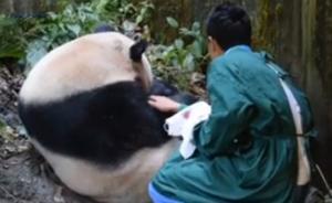 """圈养大熊猫""""草草""""昨日顺利产仔,野外引种试验取得圆满成功"""