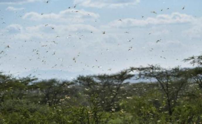 非洲蝗灾迫近危及中国?专家:需提高警惕密切监测