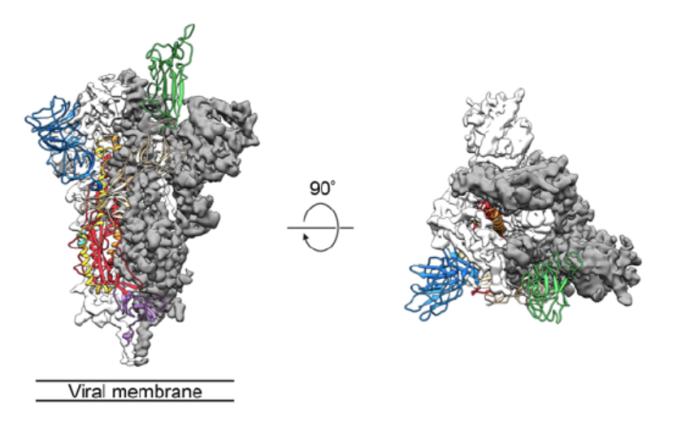 """新冠病毒為何更易傳染?冷凍電鏡圖解病毒進入細胞的""""鑰匙"""""""