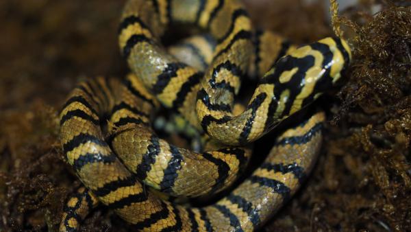 中国科学家首次成功繁育全球最美的蛇,其影像首度曝光 改