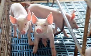 生猪养殖业面临治污挑战,山东、广东等多地加快拆除猪场