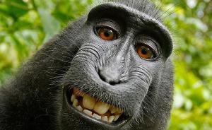 因发布猴子自拍照被起诉,英国摄影师打赢照片版权官司