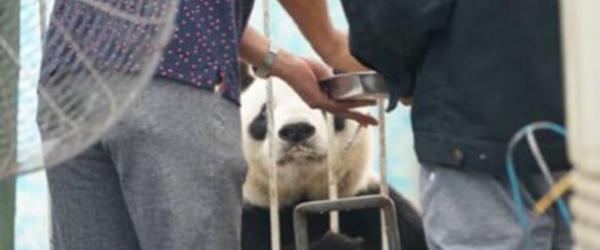 """中国大熊猫保护中心:本月还将检查安阳""""边抽烟边喂大熊猫"""""""