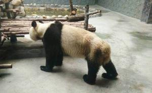 西安秦岭野生动物园一大熊猫瘦得皮包骨,园方:得了牙髓炎