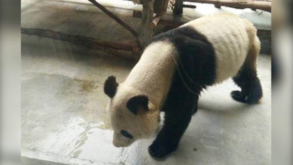 西安:动物园大熊猫得了牙病瘦成皮包骨