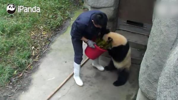 大熊猫:此路是我开此树是我栽,饲养员:给你竹笋一根