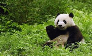 四川为大熊猫国家公园勘界,落图试点工作在都江堰进行