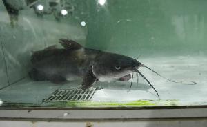 湖北咸宁鮰鱼滞销,市委书记转发渔民求助后已卖出40万斤