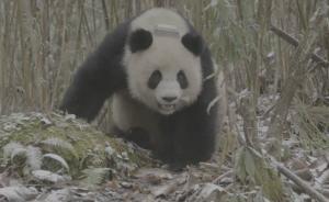 野化培训大熊猫倩倩下落不明?熊猫基地公布视频:过得很好