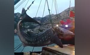 """青岛渔民休渔期捞到""""大鱼"""":系鲸鲨"""