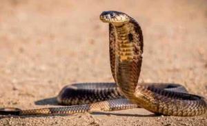 看到有蛇竟凑近分辨种类,浙江男子被眼镜蛇毒液喷到眼险丧命