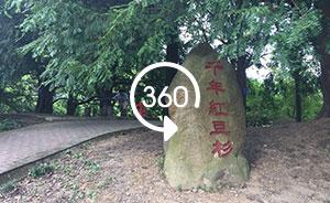 360°全景|大江奔流:武宁千年红豆杉让农民走上致富路